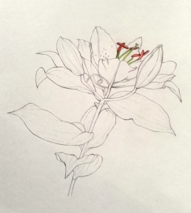 Line drawing of a lys de midi by Taehee Verney-Carron